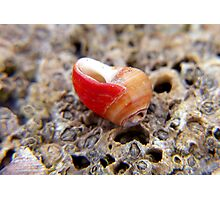 little red shell ... Photographic Print