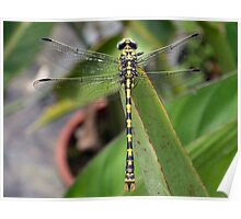Spanish Dragon Fly Poster