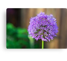 Allium Glow Canvas Print