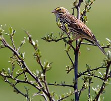 Savannah Sparrow by Michael Mill