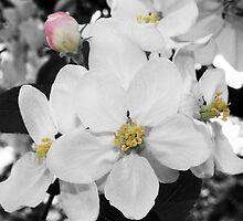 Apple Blossom by pjesten