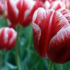 Tulip Time by Penelope Thomas