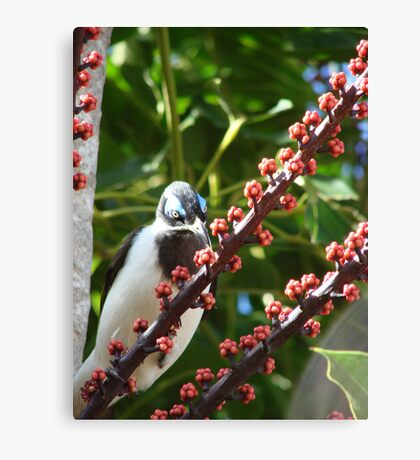 Blue-Eyed Honeyeater & Red Umbrella Tree Fruit Canvas Print