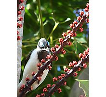 Blue-Eyed Honeyeater & Red Umbrella Tree Fruit Photographic Print