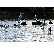 Egrets in the Salt Pond Photographic Print