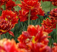 Red Tulip by biswamber