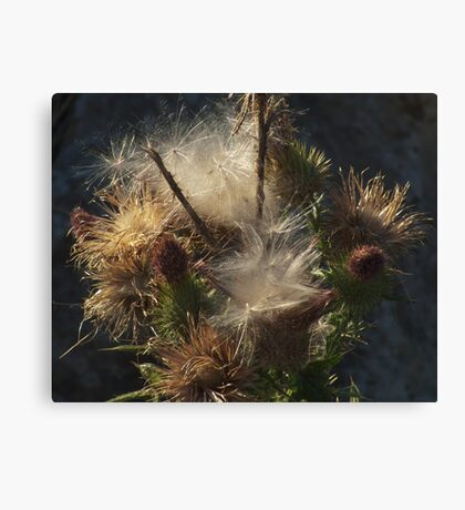 Wild plant series:  Seeding Bull Thistle Canvas Print