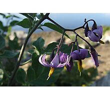 Wildflower Series:  Nightshade by the River Bank (Macro) Photographic Print