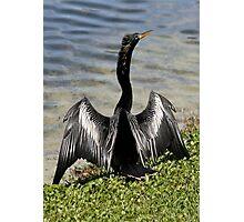 Anhinga Bird Drying His Wings Photographic Print