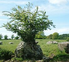 Ancient Hawthorn by Pat Duggan