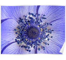 The Heart of a Purple Poppy Anemone Poster