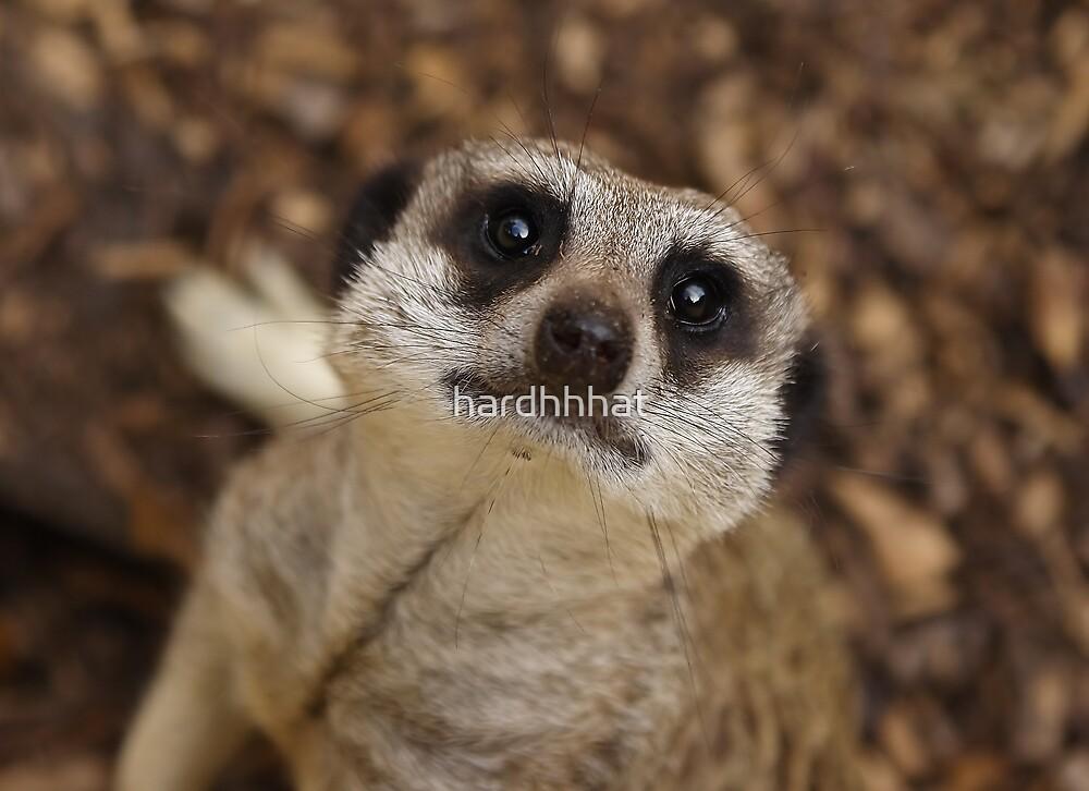 Meerkat Stare by hardhhhat