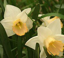 Daffodils by eltotton