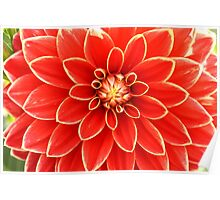 red dahlia with yellow edges Poster