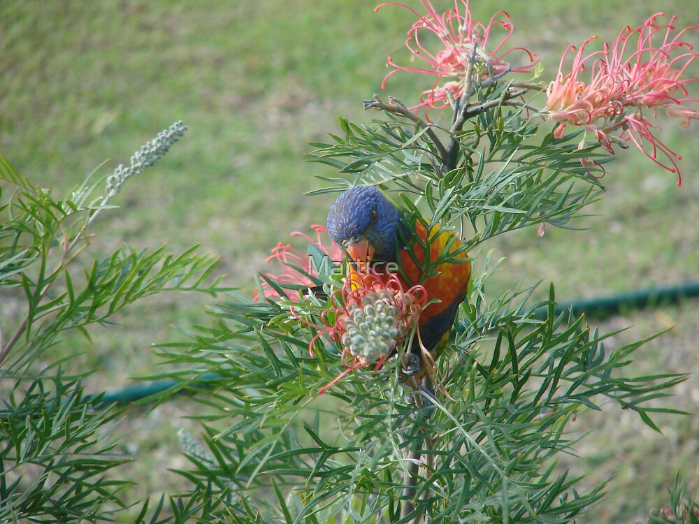 Rainbow Lorikeet & Red Grivellia by Martice