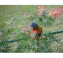 Rainbow Lorikeet & Red Grivellia Photographic Print