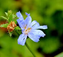 Common Chicory by Kathleen Daley