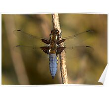 Male Broad-bodied Chaser Poster