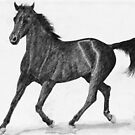 Black Anglo-Arab Stallion by Joseph Barbara