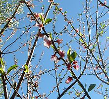 nectarine buds by kateN