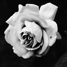 Black and White rose by DavidFrench