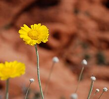 Desert Sunflower No. 2 by Benjamin Padgett