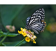 """Not-so-""Common Mime Butterfly Photographic Print"