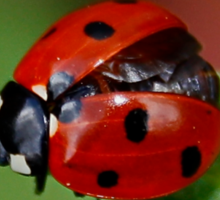 7 Spot Ladybird Getting Ready for TakeOff Sticker