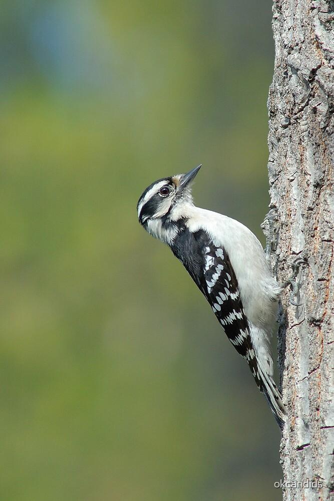 Downy Woodpecker by okcandids