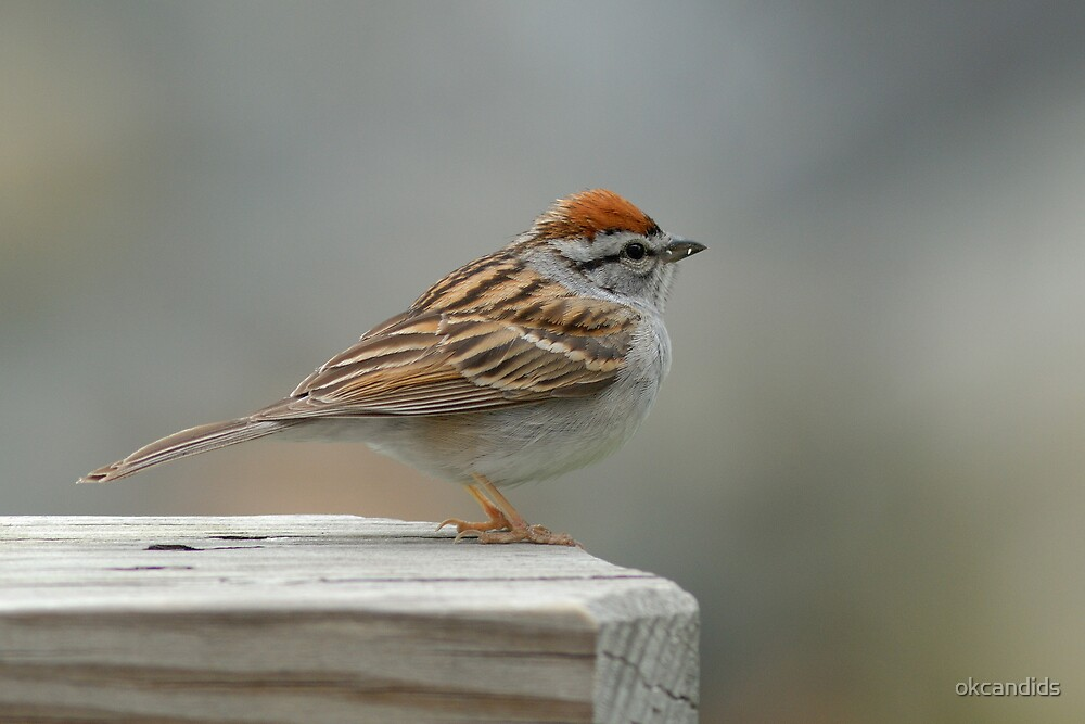 Chipping Sparrow by okcandids