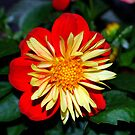 Red, Yellow & Green Bloom by buddykfa