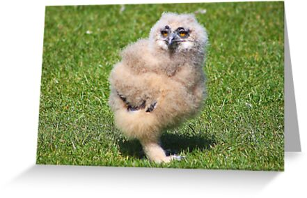 Baby Owl 4 ( one of four ) by jdmphotography