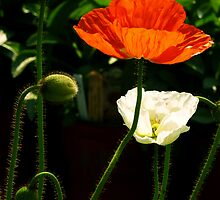 #335  Poppies In Springtime by MyInnereyeMike
