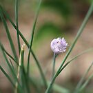 Chives by Anny Arden