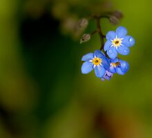 Forget me not by cherryannette