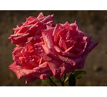 From My Mother's Garden - Three Fabulous Old Fashioned Sweetheart Roses Photographic Print
