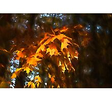 Spotlight on the Golden Maple Leaves - Fall Forest Impressions Photographic Print