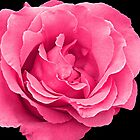 Mum's Rose by Sharon Brown