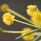 Dead Finish Wattle by Leanne Davis