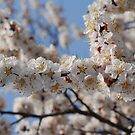 Cherry Blossoms in a Tree (1) by Christian Eccleston