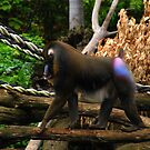 Mandrill by KeepsakesPhotography Michael Rowley