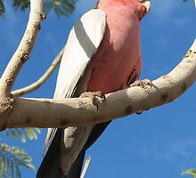 Pink and Grey Galah by Caroline Scott