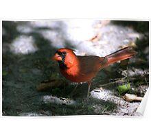 Timid Cardinal Poster