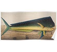 Mahi-Mahi Fish artwork Poster