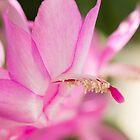 Christmas Cactus I by Lynn Gedeon
