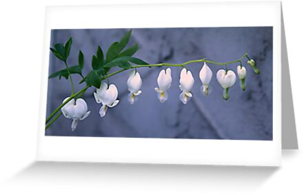White Bleeding Heart by Stephen Thomas