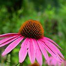 Cone Flower by Lisa Miller