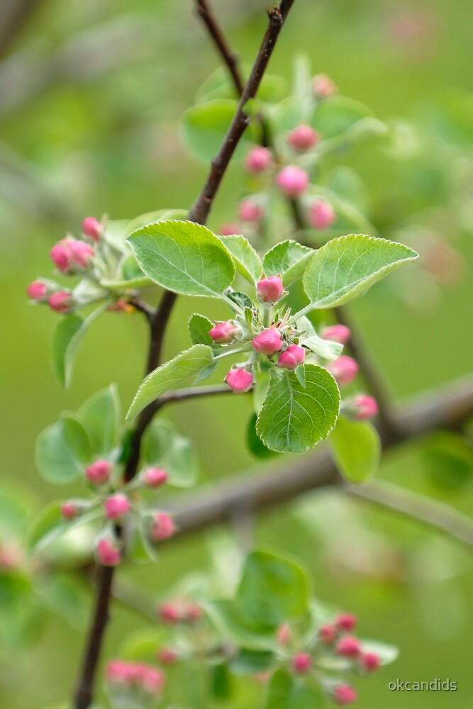 Dwarf Apple Tree Blossom by okcandids