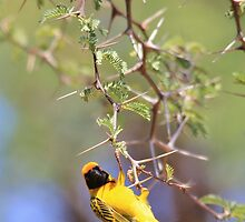 Southern Masked Weaver - Acrobatic Fun by LivingWild