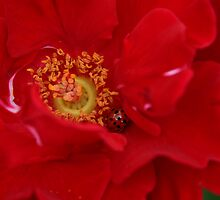 A Rose For The Lady by MMerritt